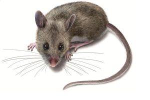 مكافحة فئران فى الشارقه